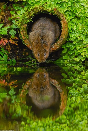 Water Voles by Philip Petrou