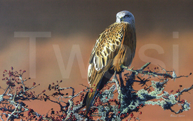 Mike-Demain-red-kite-small