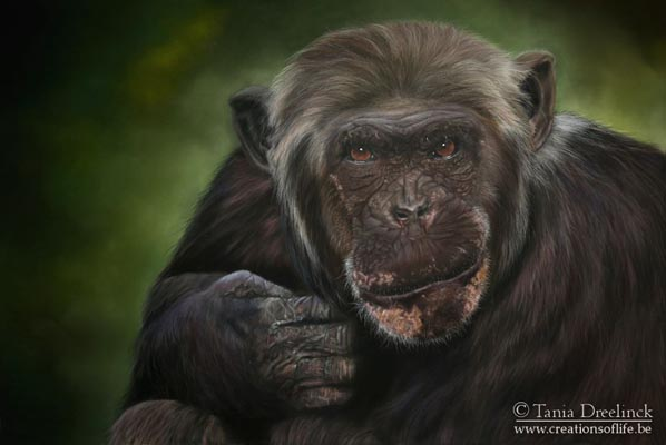 Chimp by Tania Dreelinck