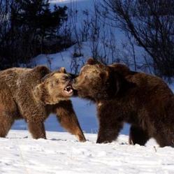 Vic Sharratt - A pair of Grizzleys get to grips vic@vicsharrattwildlifeimages.com http://www.vicsharrattwildlifeimages.com/