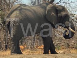'Malawi Elephant' by Alan Davis ard@forestryoperations.wyenet.co.uk