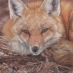 'Canadian Fox' by France Bauduin france.bauduin@gmail.com http://www.francebauduinart.com/Site/Welcome.html