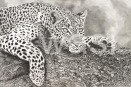 Les Griffins - Leopard ukgriffins@gmail.com