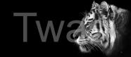 "'Tiger Profile"" by Martin Buffery mbuffery@yahoo.co.uk http://studiobuffery.com/ https://www.facebook.com/studiobuffery/"