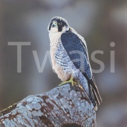 'Peregrine Falcon' by Michael Demain mdemainwildart@aol.com http://michaeldemainwildlifeart.co.uk/