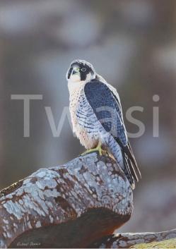 'Peregrine Falcon' by Michael Demain mdemainwildart@aol.com http://michaeldemainwildlifeart.co.uk/
