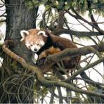 Jacqueline Gaylard - Red Pandaenquiries@charlfredfineart.co.uk