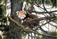 Jacqueline Gayford - Red Panda enquiries@charlfredfineart.co.uk