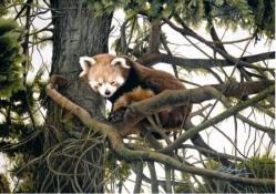 Jacqueline Gaylard - Red Pandaenquiries@charlfredfineart.co.uk