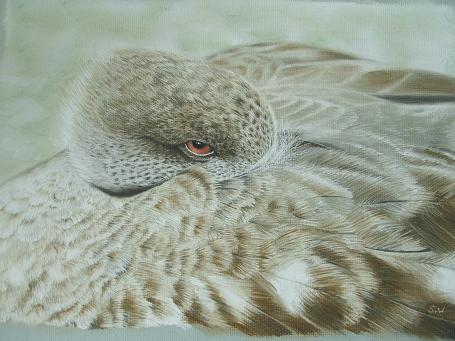 Shane Wiseman - Crested duck shane.wiseman@btinternet.com