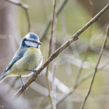 'Blue Tit' by Andrew Rumary - Lady Scott Award 2018