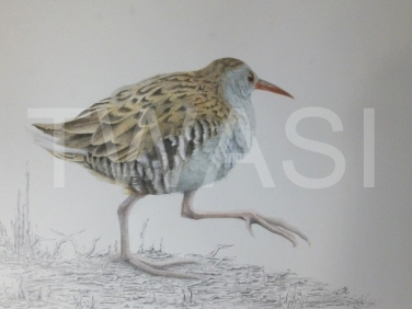 'Water Rail' by David Knight. Winner of the Highly Commended Award.