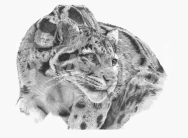 'Clouded Leopard' by David Skidmore Silver Citation Award 2018