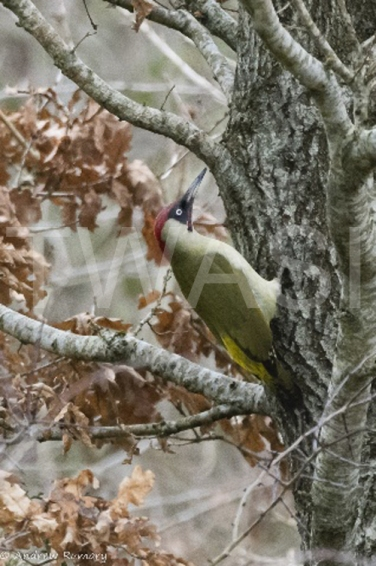 'Green Woodpecker' by Andrew Rumary