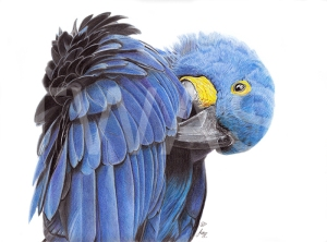 Hyacinth Macaw by Julie Longdon - Best work on paper In memory of Pollyanna Pickering Award 2018