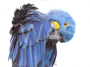 Hyacinth Macaw by Julie Longdon - Best work on paper In memory of Pollyanna Pickering Award 2018