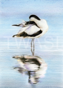 Avocet Preening by Nick Day Highly Commended Award 2018
