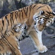 Philippa Smith - Tiger and Cub pip.smith000@gmail.com