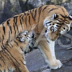 Philippa Smith - Tiger and Cub pip.smith000@gmail.com