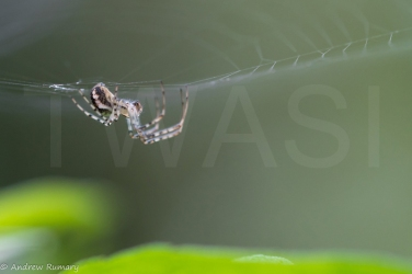 'Spider' by Andrew Rumary