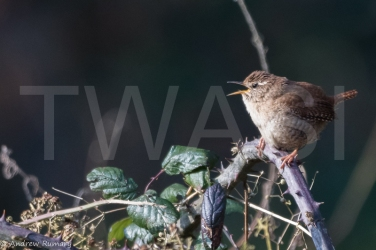 'Wren' by Andrew Rumary