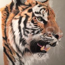 """""""Tiger' by Jackie Fearn Jackie@fearnportraits.com www.fearnportraits.com"""