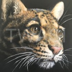 Clouded Leopard by Carrie-Anne Goodchild