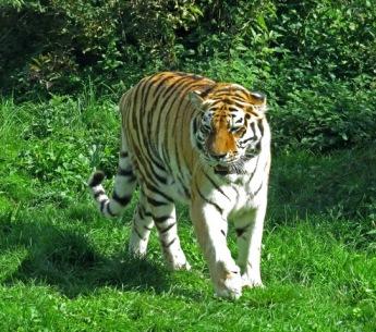 Linton Zoo-Amur Tiger