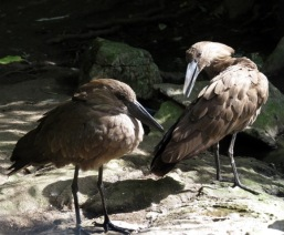 Linton Zoo-Hammerkopf