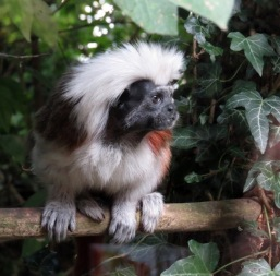 Linton Zoo-Tamarin monkey