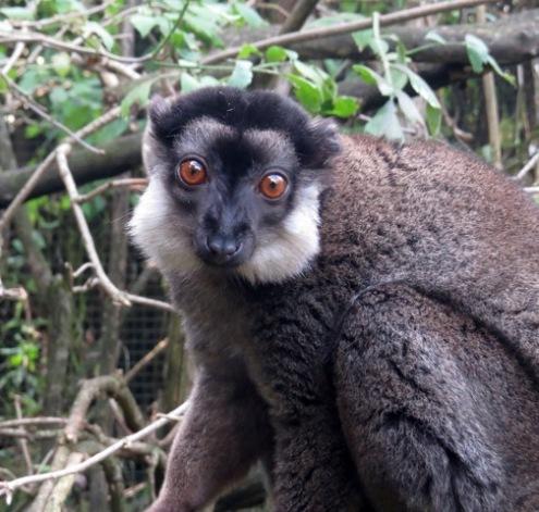 Linton Zoo-White ruffed Lemur