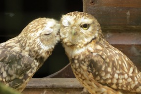 Cotswold Burrowing Owls - TWASI Visit