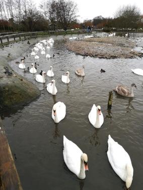 Slimbridge swans - TWASI Visit 2018