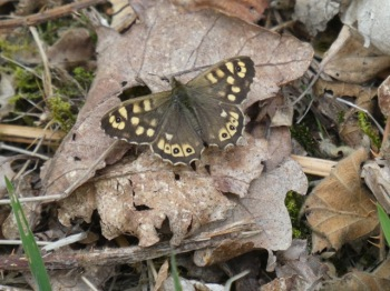 Ryton Speckled Wood
