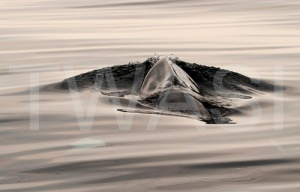 Joy Roberts Gold Citation for Best Photograph Making Waves Minke Whale Mull