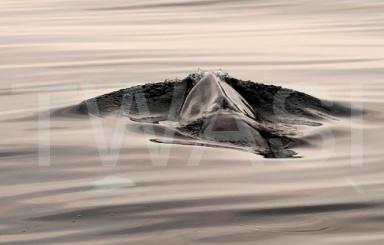 Joy Roberts Gold Citation for Best Photograph Making Waves Minke Whale Mull