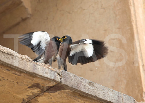 Ros Rouse Lady Scott Photographic Award A myna scuffle