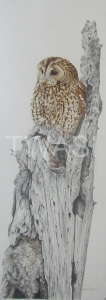 Valerie Briggs Two Rivers Award for the best work on paper Tawny Owl