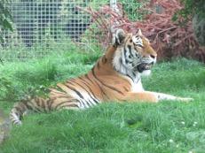 Marwell Amur Tiger -Twasi Visit