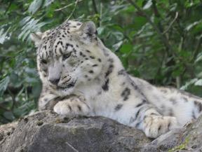 Marwell Snow Leopard Twasi Visit