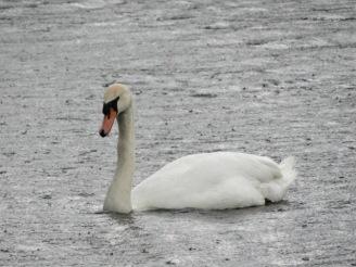 Stanwick swan