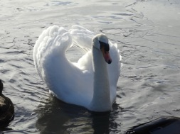 Slimbridge mute swan