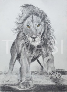 'Lion Attack' by Ann Hunt Graphite Unframed 38 x 29 £ 250
