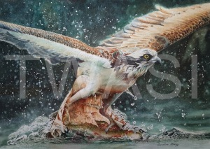 'Catch of the Day' by Caroline Strong Unframed 46 x 61 Watercolour £995