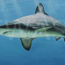 'Grey Nurse Shark' by Carrie-Anne Goodchild Framed 56 x 82 Oil £400