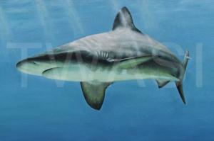 'Grey Nurse Shark' by Carrie-Anne Goodchild Framed 56 x 82 Oil £400