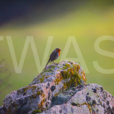 'Autumn Robin' by Charlie Barker Unframed Photograph 21 x 40.6 £9