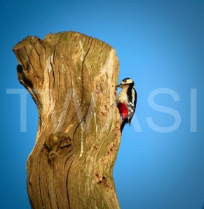 'Spring Woodpecker' by Charlie Barker Unframed photograph 29.7 x 42 £120
