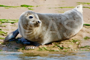 'Summer Seal' by Charlie Barker Unframed photograph 29.7 x 42 £120