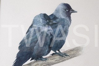 'Jackdaw Pair' by David Knight Watercolour Mounted 38x37 £175